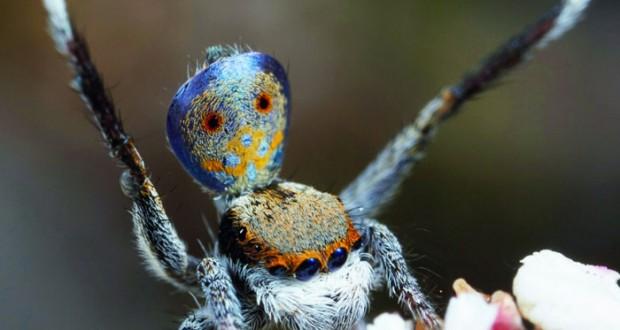 أستراليا تكتشف سبع فصائل جديدة من عنكبوت الطاووس
