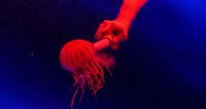 تغذية قنديل البحر بنبات القراص الياباني في حوض سمك بمنتجع ورلد سنتوسا في سنغافورة