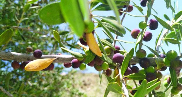 بدء جني ثمار فاكهة البوت بالعوابي