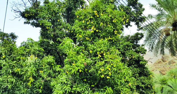 (125) ريالا عمانيا أعلى قيمة لطناء شجرة (المانجو) بالعوابي
