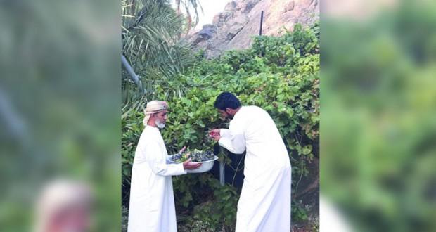 بدء قطاف محصول العنب بوادي حيبي بصحار