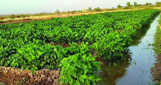 """""""مـزارع الـعويجا"""" بولاية منح .. تنوع في المحاصيل الزراعية وعوائد اقتصادية لأصحابها"""