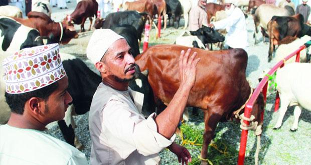 هبطة سوق نـزوى تسجل أعلى سعر للغنم بـ 340 ريالا والبقر بـ 1000 ريال عماني