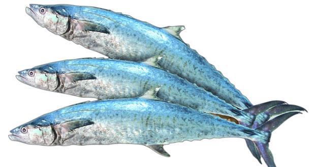 الاثنين القادم .. بدء سـريان حظر صيد أسماك الكنعد في سواحل السلطنة