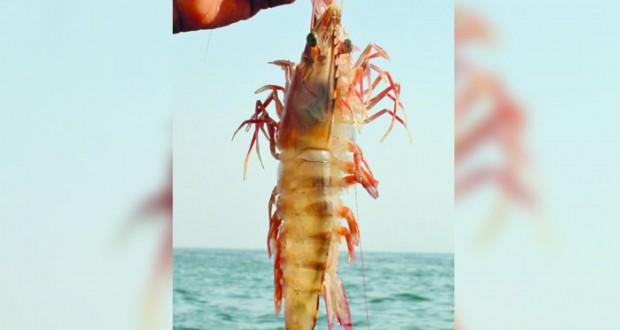 اليوم.. بدء موسم صيد الروبيان في السلطنة ويستمر حتى نهاية نوفمبر