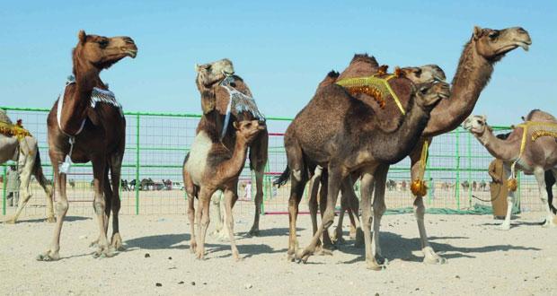 استعدادات كبيرة لانطلاق مهرجان المزاينة والمحالبة بمهرجان خريف صلالة
