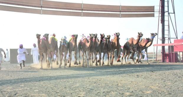 12 شوطا مثيرا في اختتام ناجح للسباق السنوي للهجن الأهلية بميدان صحار