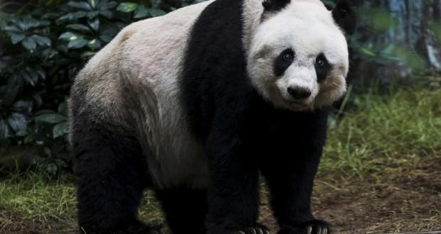 نفوق أقدم باندا حبيسة في العالم في هونج كونج