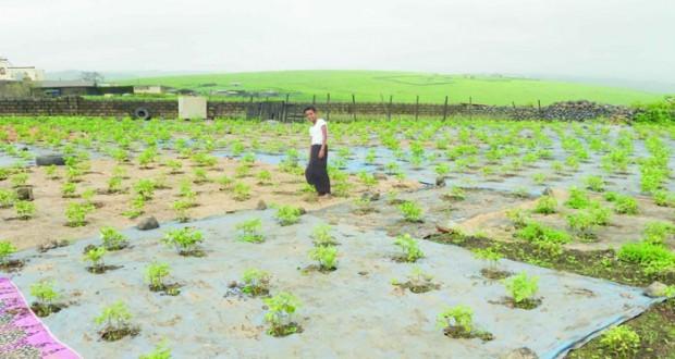 """""""المشديدة"""" مزروعات موسمية ذات مردود اقتصادي"""