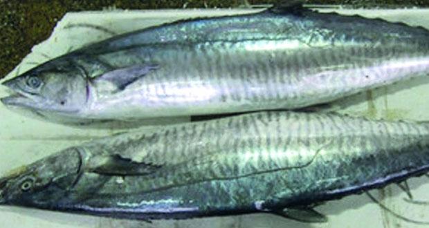 السبت القادم.. انتهاء حظر صيد أسماك الكنعد في سواحل السلطنة