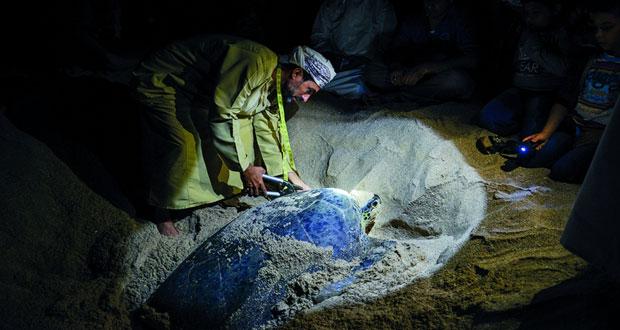 محمية السلاحف تستقبل 1840 زائرا يوميا