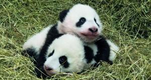 حديقة حيوان أتلانتا تنشئ موقعا الكترونيا لاختيار اسمين لتوأم باندا