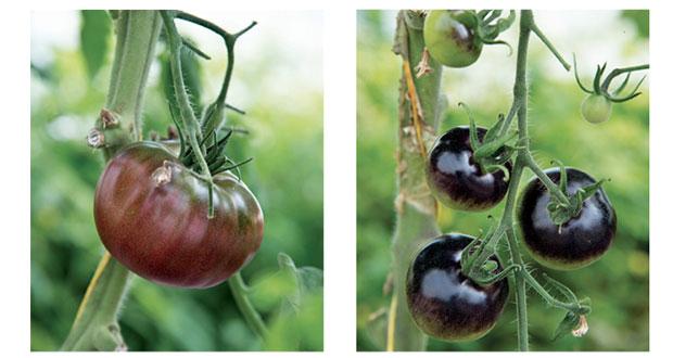 جامعة السلطان قابوس تنجح في زراعة خضراوات جديدة