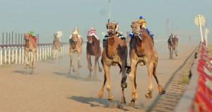 الهجانة السلطانية تختتم فعاليات سباق الهجن بالمضيبي