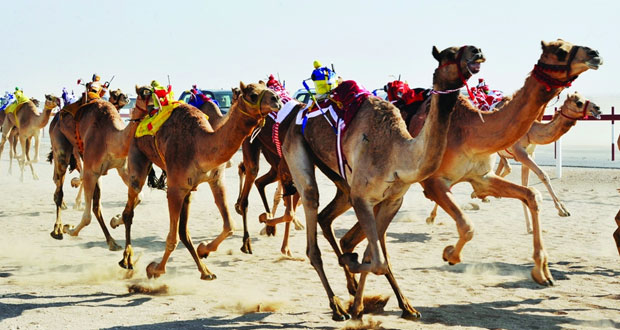 اليوم انطلاق سباق الهجن بولاية صحار