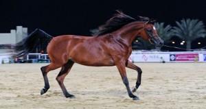 غدا انطلاق بطولة عمان المحلية الخامسة لجمال الخيل العربية
