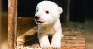 """حديقة حيوان برلين تطلق على دبها القطبي الجديد اسم """"فريتس"""""""