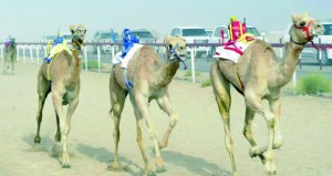 الخميس القادم انطلاق مهرجان هيماء السنوي السادس لسباق الهجن برعاية رئيس بلدية ظفار