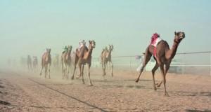 8 سيارات وجوائز قيمة للفائزين في سباق الهجن بميدان الجدة بولاية هيماء