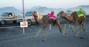 ميدان البطحاء بولاية المضيبي يشهد إقامة 14 شوطا للهجن الفطايم والمشاركون يشيدون بمواصفات الميدان