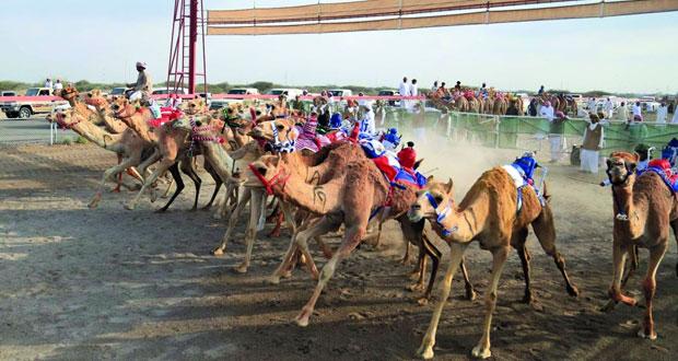 انطلاق منافسات السباق الختامي لكأس جلالة السلطان لسباقات الهجن الأهلية بميدان الفليج ببركاء