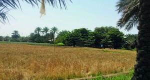 انتهاء حصاد القمح بصور