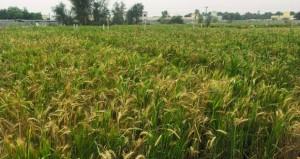 انتهاء حصاد القمح بالكامل والوافي وجعلان بني بوحسن
