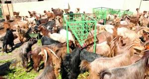 جامعة السلطان قابوس تجري دراسـة حول انتشـار مرض «البروسيلا» في الماعز بالجبل الأخضر