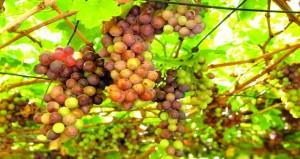 محصول عنب الروضة بالمضيبي يشهد تميزاً وفيرًا في الأسواق الخاصة بالولاية والولايات المجاورة