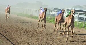 أهالي بركاء ينظمون سباقا للهجن بمناسبة عيد الفطر المبارك