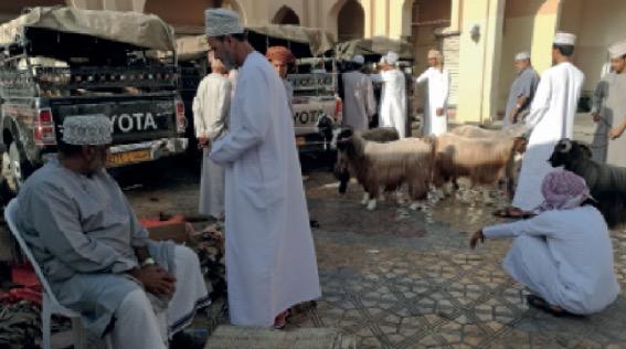 أسعار الأغنام المحلية بين 260 و280 ريالا عمانيا في قريات