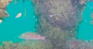 نجاح تجربة إنزال الشعاب المرجانية الصناعية بشمال الباطنة