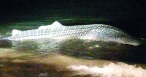 إنقاذ حوت القرش بعد جنوحه على شواطئ بركاء