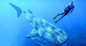 """مركز سي عُمان يحث المهتمين لاغتنام الفرصة في جولات استكشافية بصحبة بطل الغوص الحر """"بيير فرولا"""""""