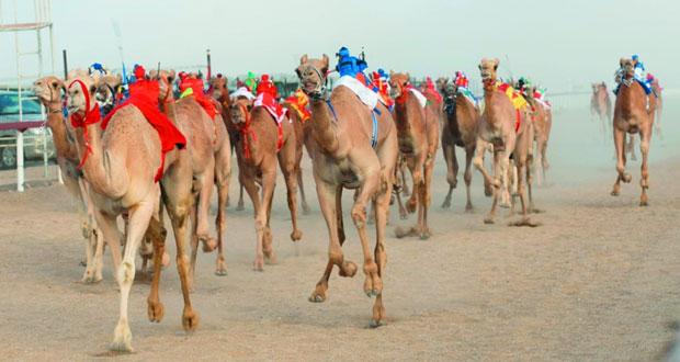 ختام ناجح لسباق الهجن بولاية المضيبي بمشاركة أكثر من 500 متسابق بتنظيم من الهجانة السلطانية