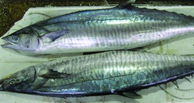 انتهاء فترة حظر صيد أسماك الكنعد في السلطنة منتصف الشهر الجاري