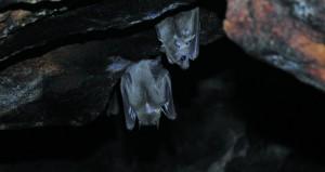 مكتب حفظ البيئة بديوان البلاط السلطاني ينجز مسحا للخفافيش بظفار