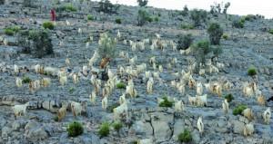 مشروع وحدة بحثية يستهدف حفظ وإكثار سلالة ماعز الجبل الأخضر وضمان استدامتها