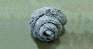 مواطن يعثر على حجرة صخرية على شكل حلزونة ببلدة طيمساء بنـزوى