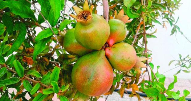 نجاح زراعة شجرة الرمان بسمد الشأن