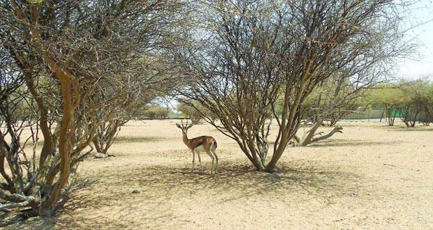 """""""حديقة السليل الطبيعية"""" بالكامل والوافي موئل للغزال العربي"""