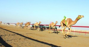 اليوم .. انطلاق مهرجان سباقات الهجن في الفليج بولاية بركاء