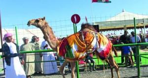 إثارة وتنافس وحماس في أشواط مهرجان حمراء الدروع لمزاينة الإبل بعبري
