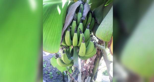 بدء تسـويق محصول الموز في الأسواق