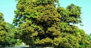 بدء موسـم تزهير أشـجار المانجو بقريات