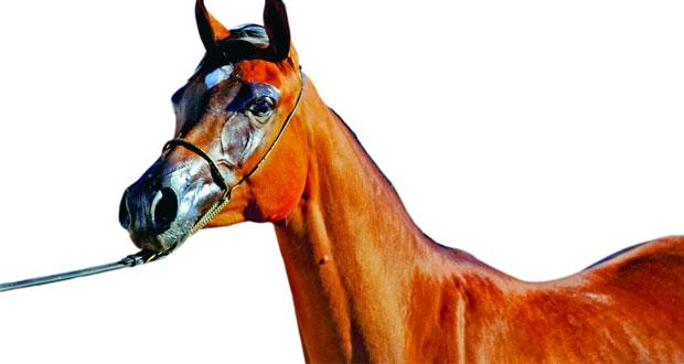 الخيول مرايا ونجية وبتار ويانع ونوير الجمال تفوز بألقاب بطولة جمال الخيل