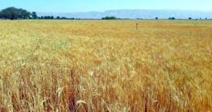 بدأ حصاد القمح بمزارع ضنك