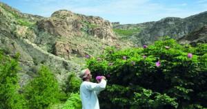 إقبال سياحي مع بدء موسم الورد في الجبل الأخضر