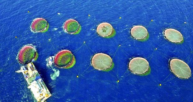 مدير دائرة تنمية وإدارة الموارد السمكية لـ«الوطن»: 170 مليون ريال عماني تكلفة 9 مشـاريع اسـتزراع و«6» مشاريع جديدة قيد الدراسة