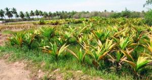 """""""الزراعة"""" تواصل تنفيذ مشروع إنتاج وتوزيع 50 ألف شتلة نارجيل على المزارعين"""